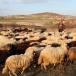 Ovce Levka zima
