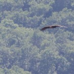 A Black Vulture in Flyght over the feeding site in Kresna Gorge