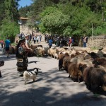 FWFF's Karakachan Sheep herd is passing the town of Kotel