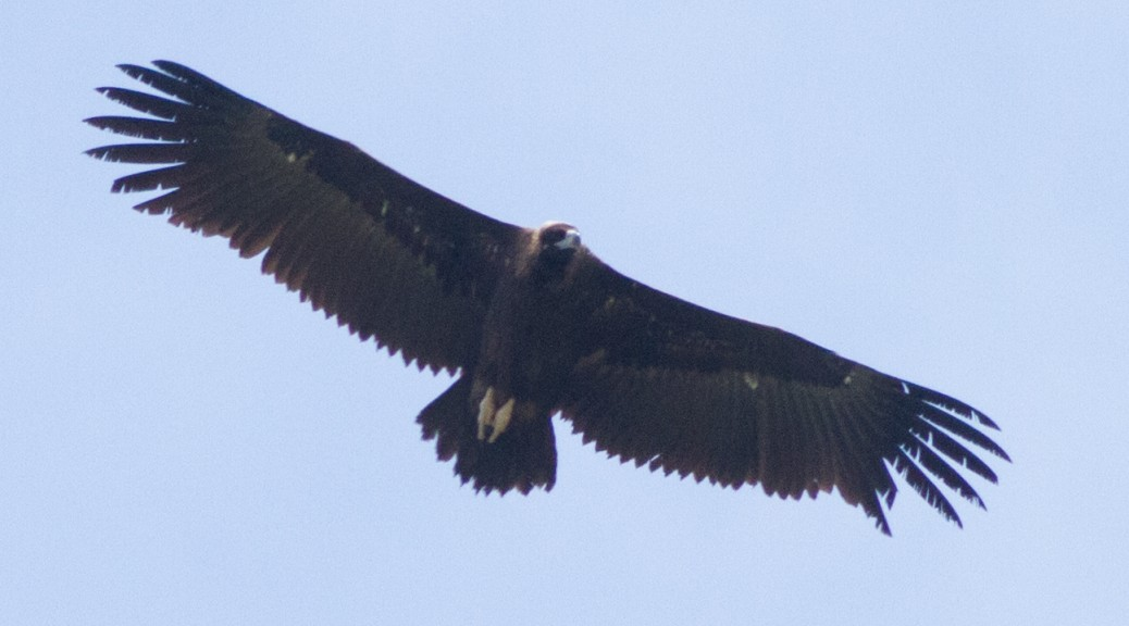 an introduction to the nature of vulture the untidiest bird The cinereous vulture is a large raptorial bird that is distributed through much of eurasia it is also known as the black vulture, monk vulture, or eurasian black vulture it is a member of the family accipitridae, which also includes many other diurnal raptors such as kites, buzzards and harriers it is one of the two largest old world vultures.