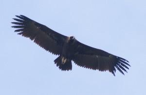 Black Vulture (Aegypius monachus) in Kresna gorge, Bulgaria, May 19, 2014. Photo: Hristo Peshev/FWFF